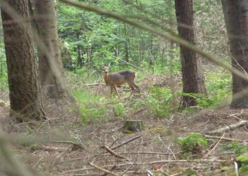 Ree in het bos